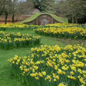 Icehouse daffodils